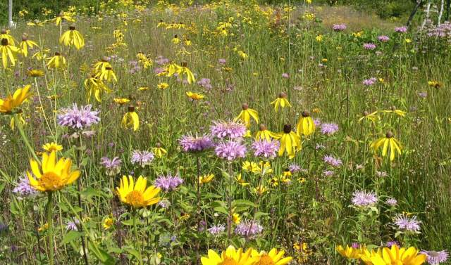 Michigan wildflowers